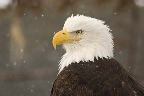 Bald eagle sightings on the